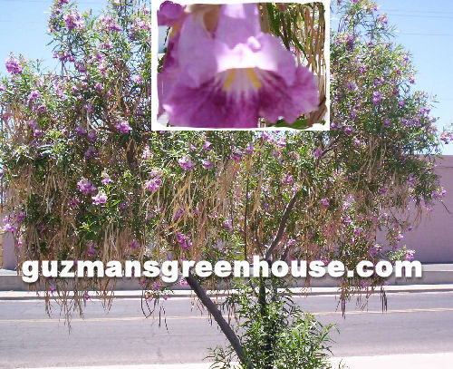 Southwest trees guzmans greenhouse full sun full or partial shade usda zone 6 10 afghan pinedesert pine is a fast growing evergreen tree and can be used as border landscaping mightylinksfo