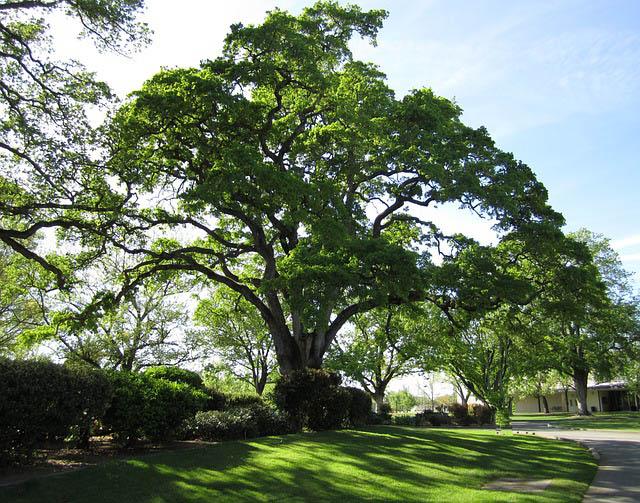 shade trees for the desert southwest guzman 39 s greenhouse. Black Bedroom Furniture Sets. Home Design Ideas