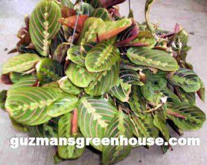 Marantha Plant