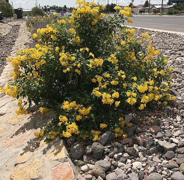 Yellow Bells Plant Beautiful Outdoor Plant Guzmansgreenhouse Com