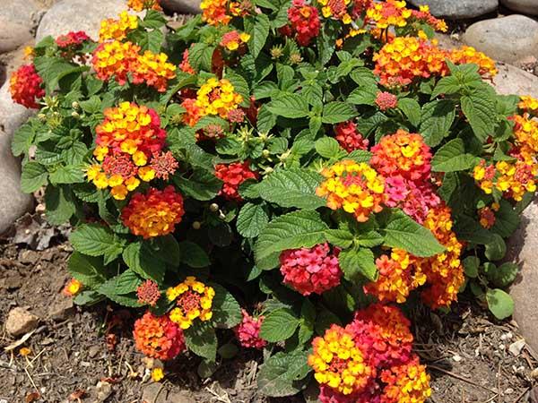 Buy Lantana Plants Purchase Lantana Plants In Las Cruces