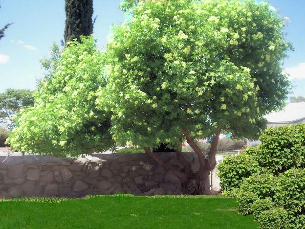Mexican Elder Tree Southwest Guzman S Greenhouse