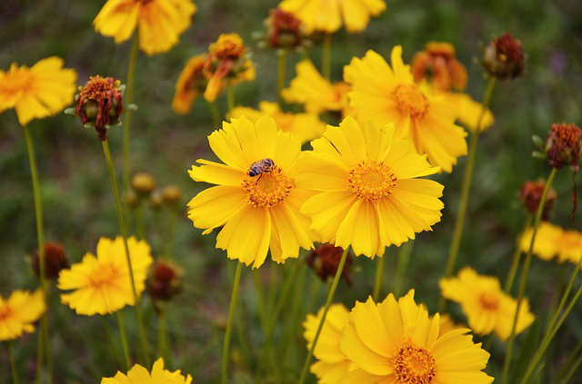 coreopsis-flower
