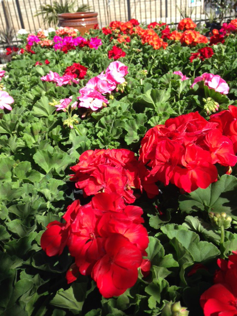 guzmans-geraniums
