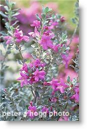 Texas Sage Bushes