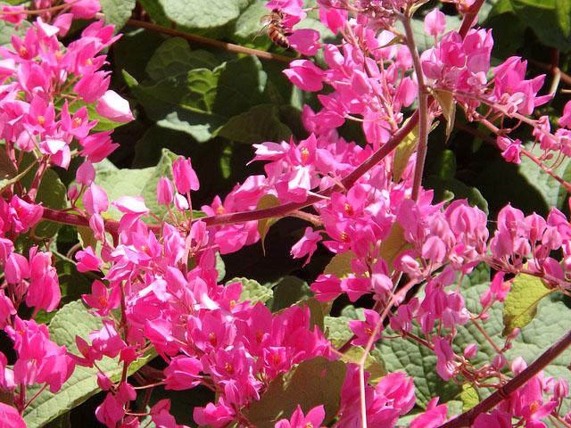 Coral Vine Plant Bright Pink Flowers Guzmansgreenhouse Com