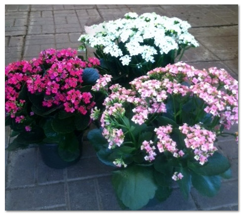 The Kalanchoe Plant Easy Indoor Plant Guzmansgreenhouse Com
