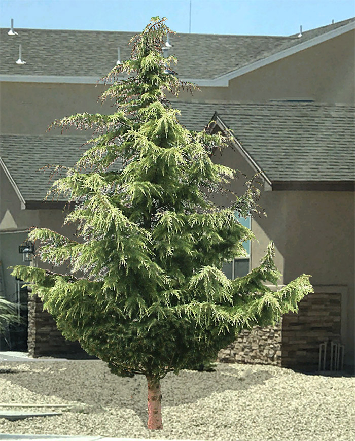 California Christmas Tree Cedrus Deodara